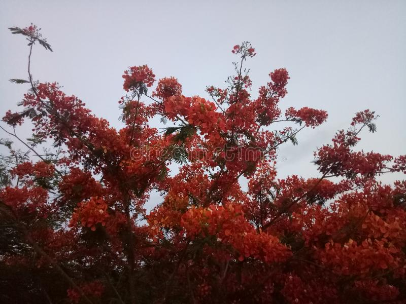 Tree med r?da blommor royaltyfria foton