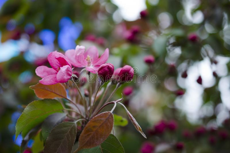 Tree med rosa blommor royaltyfri bild