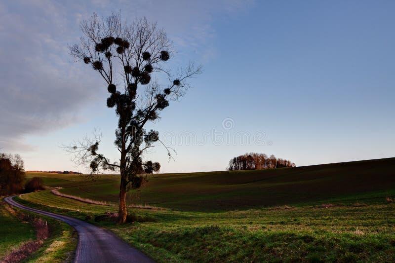 Tree mistletoe landscape evening sun, countryside Dinant, Belgium stock images