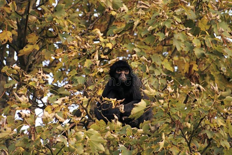 Tree Monkey stock photography