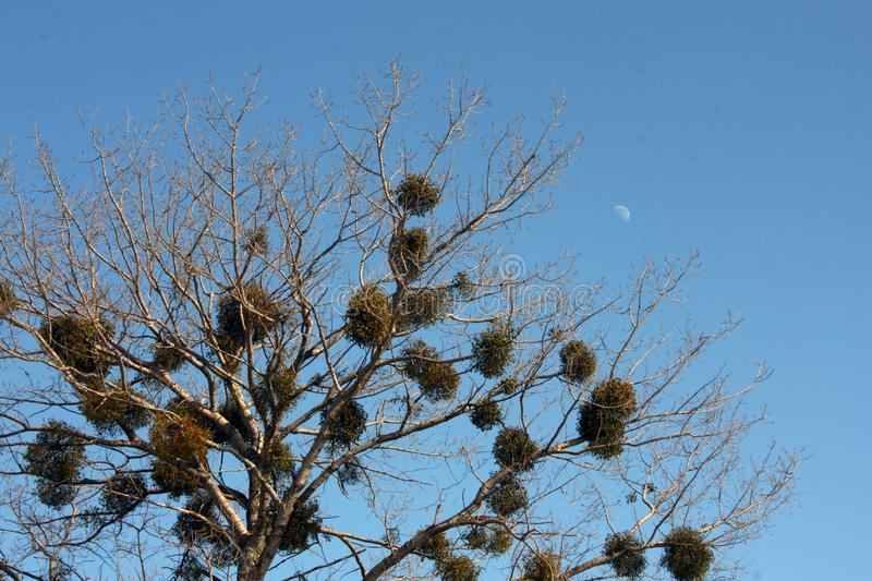 Download Tree and moon stock image. Image of parasite, tree, evergreen - 14816425