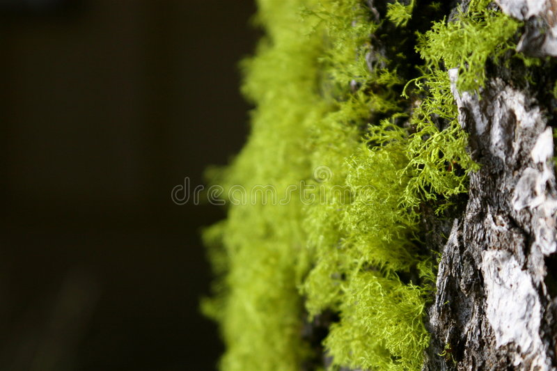 Tree Moss And Bark Royalty Free Stock Image