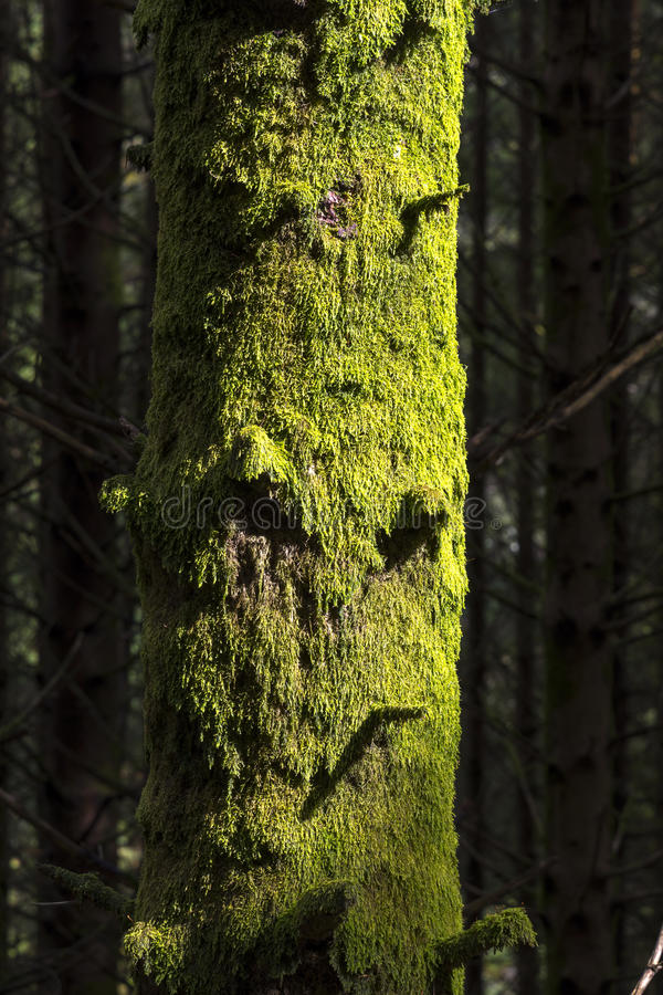 Tree with moss Norway royalty free stock photo