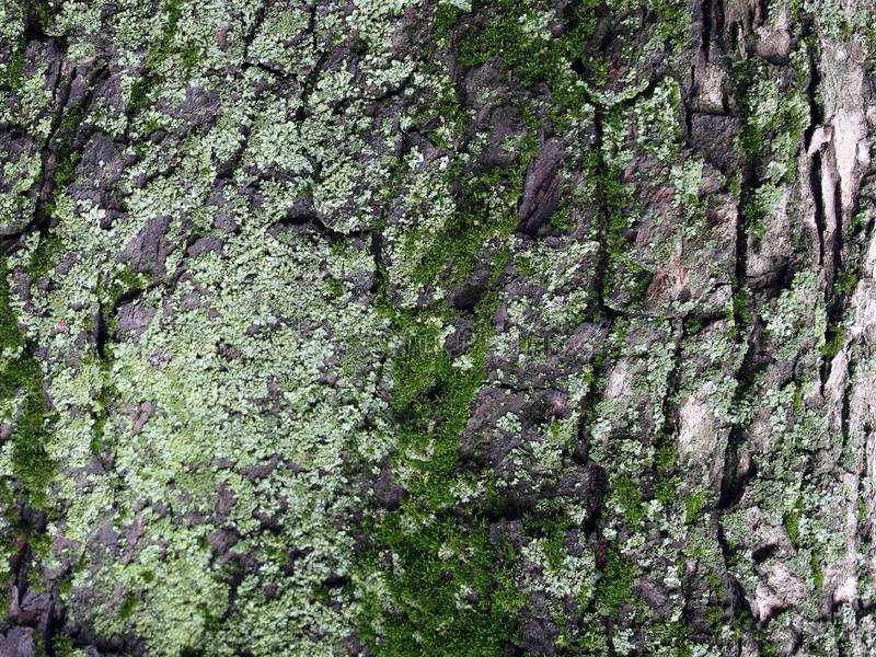 A tree with moss on roots in a green forest or moss on a tree trunk. Tree bark with green moss. Close-up royalty free stock photography