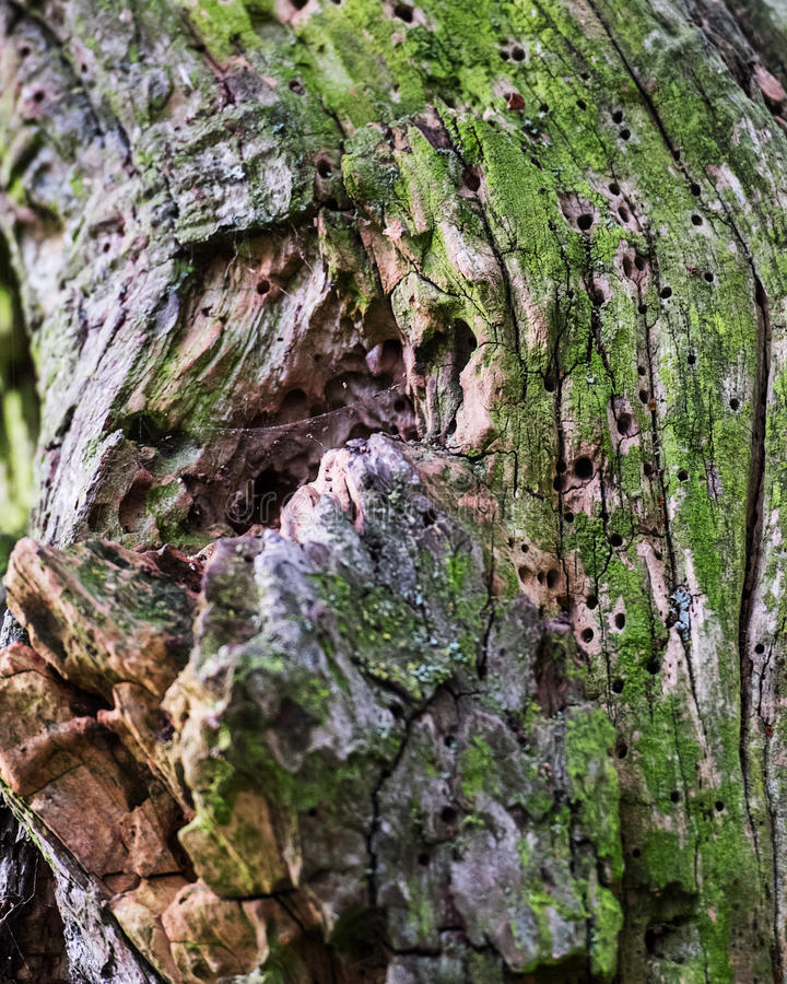 Tree with multiple woodworm holes. Close up of a tree with multiple woodworm holes stock photos