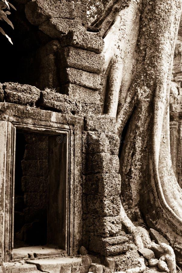 Tree growing on Angkor Wat Temple royalty free stock image