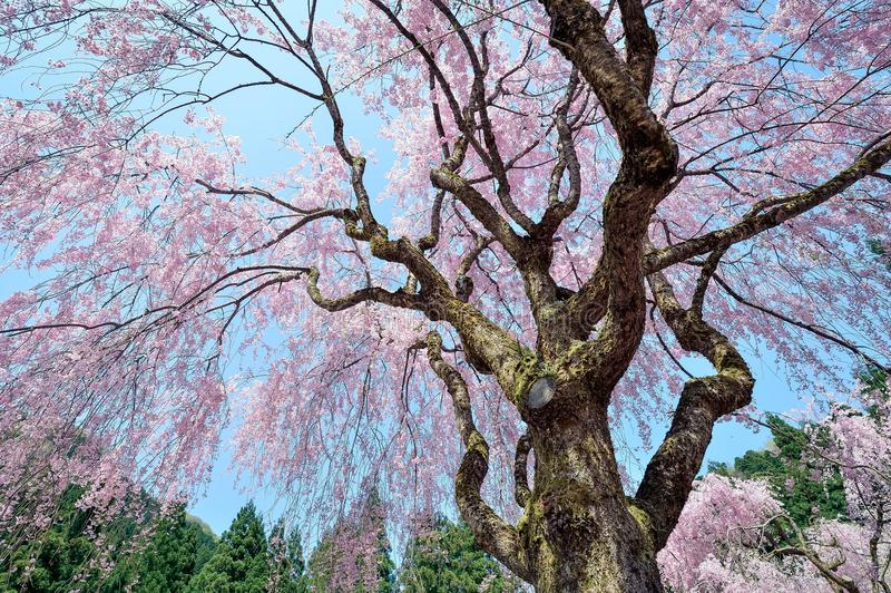 Tree, Nature, Plant, Flower royalty free stock photography