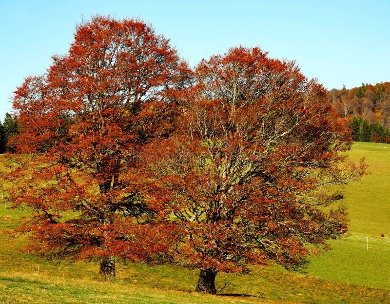 Tree, Nature, Woody Plant, Autumn stock photography