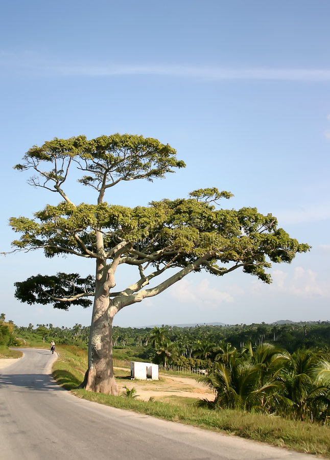 Tree near road. Big tree with large branches near road royalty free stock photos
