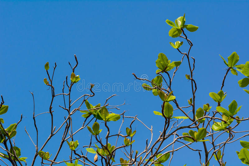 Tree with new leaves. royalty free stock image