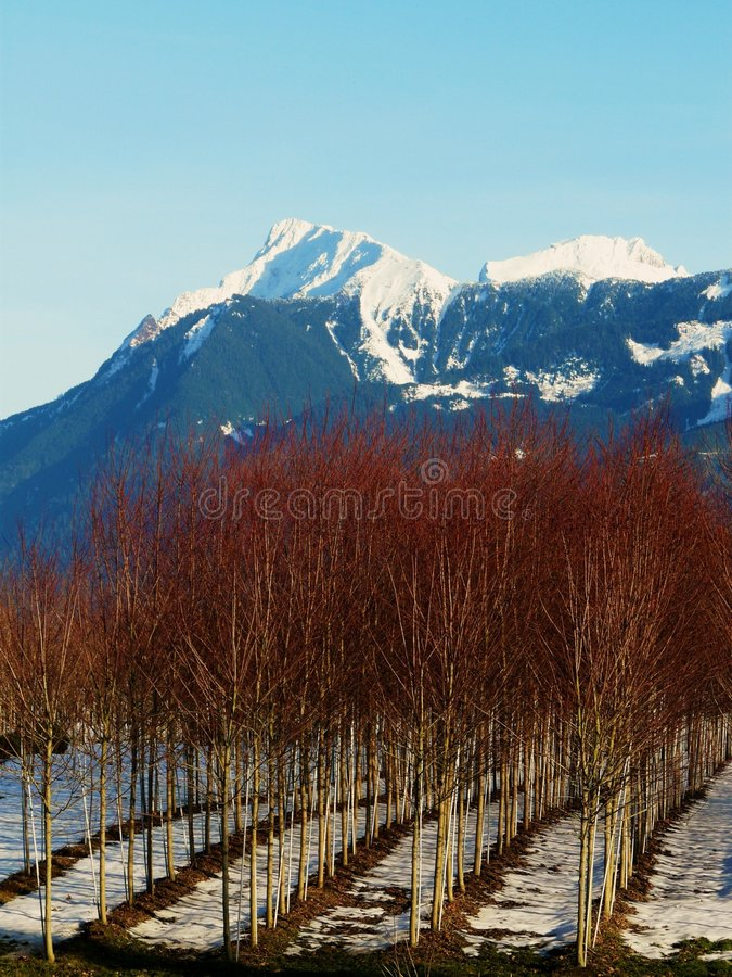 Tree Nursery. Rows of red branched trees in a nursery, set against a snow topped mountain and gorgeous blue sky royalty free stock images