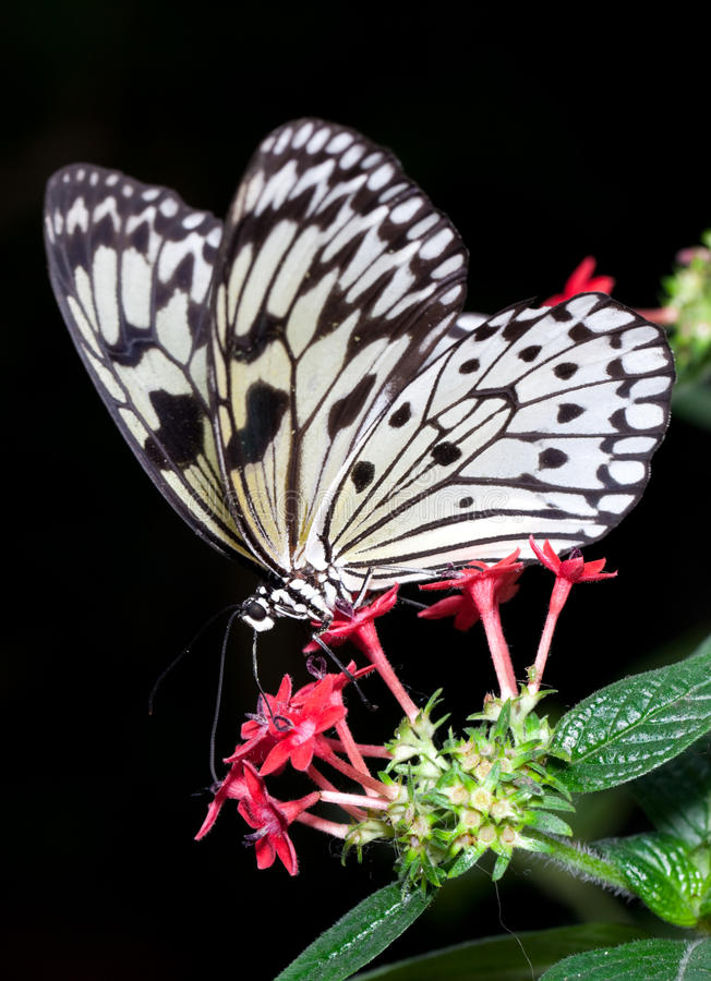 Tree Nymph Butterfly. (Idea Leuconoe) feeding on nector from flower stock images