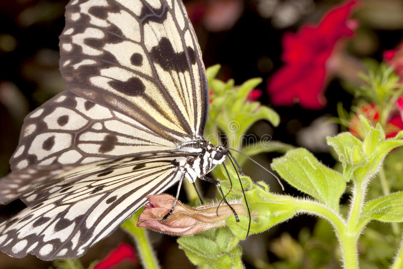 Tree Nymph Butterfly (Idea Leuconoe) royalty free stock images