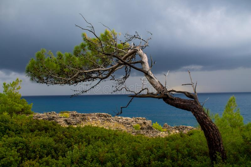 Tree on the ocean coast at stormy cloudy day royalty free stock photography