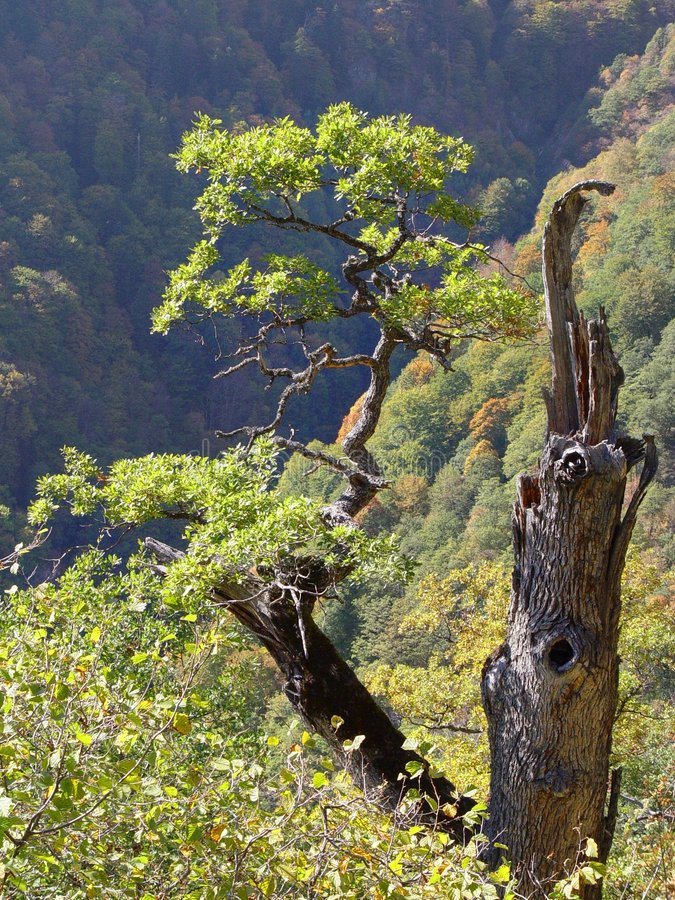 Free Tree On Mountainside Royalty Free Stock Photography - 3511527