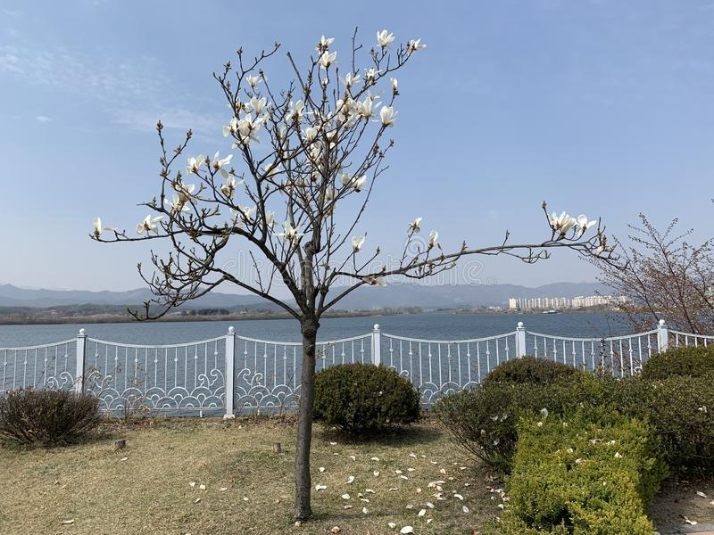 Tree white flowers blooming mountain sea stock photos