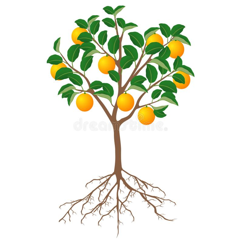 A tree of an orange with fruits and roots on a white background. stock illustration