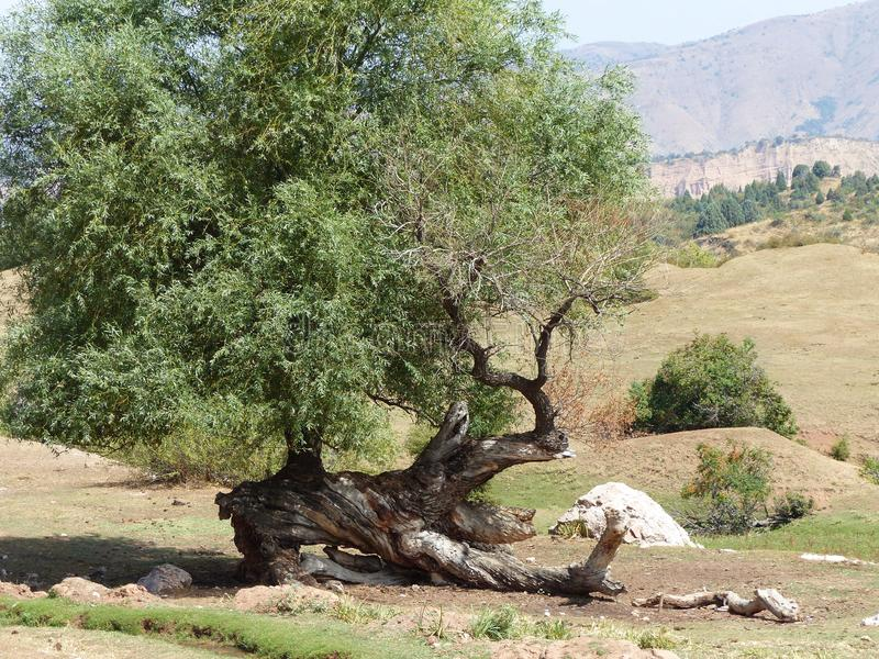 Tree with an original form of dry trunk in the Fergana Valley in Uzbekistan. Travel destination. Summertime and Holidaytime. Sunny day. Blue sky. Shrubs and royalty free stock photos