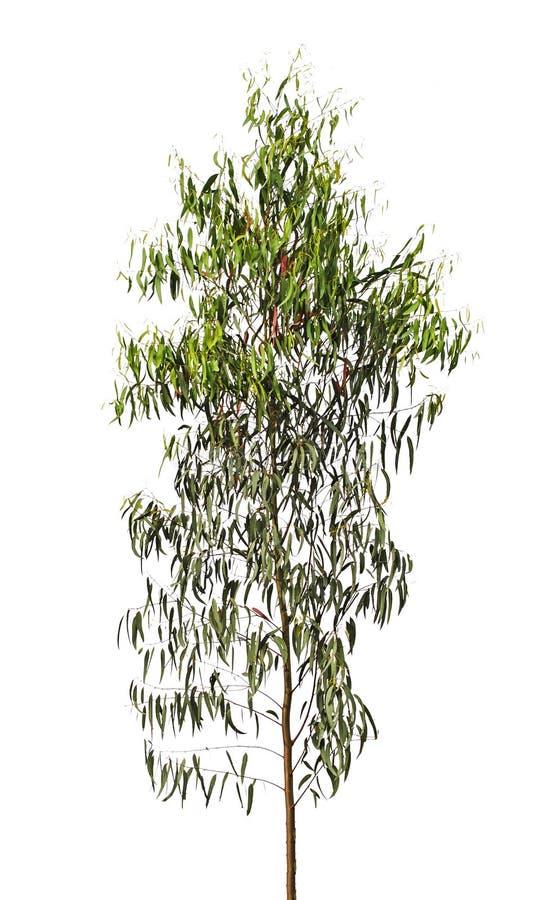 Tree på vit bakgrund arkivbild