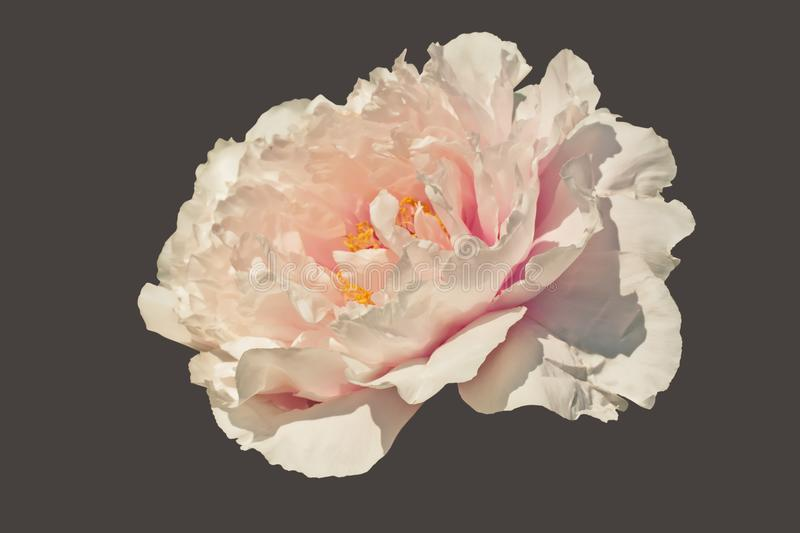 Tree peony flower Paeonia suffruticosa isolated with clipping stock images