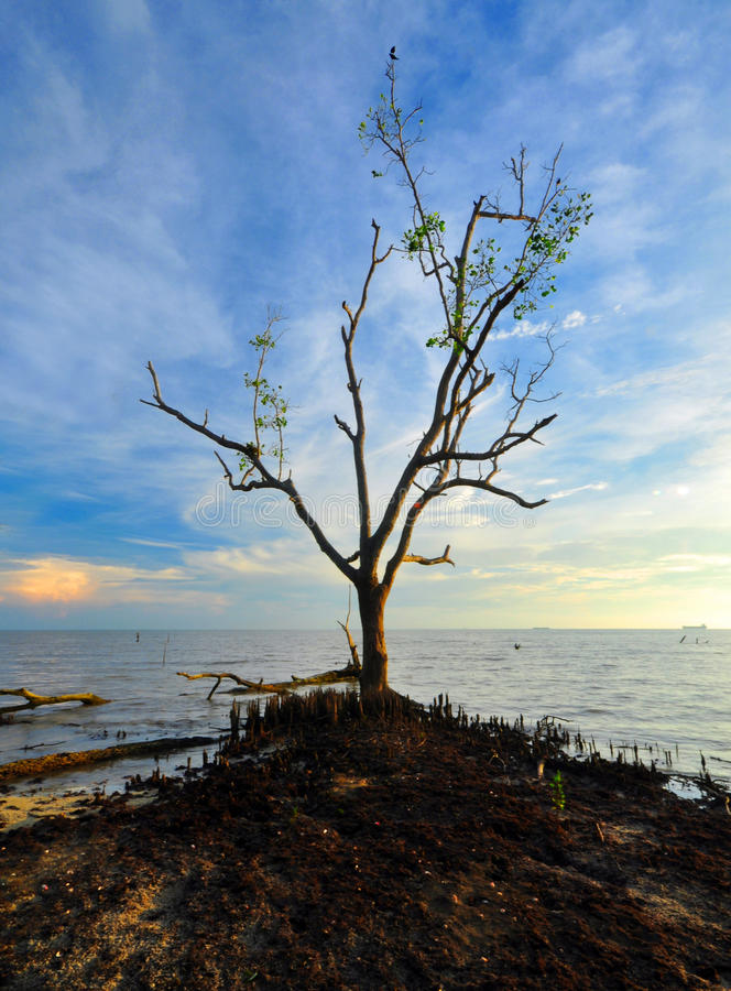 Tree. This photo take in beach kelanang banting selangor, kuala lumpur malaysia royalty free stock images
