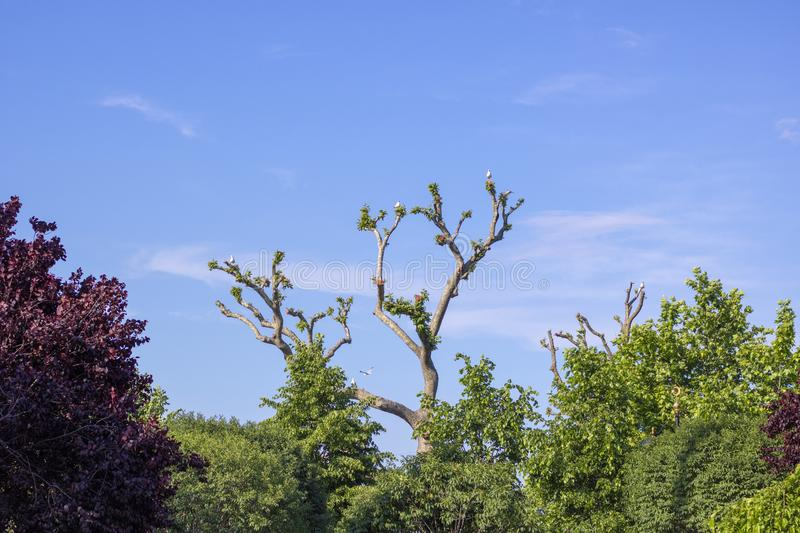 Tree picture. The branches are pruned. Seagulls on the branches royalty free stock images