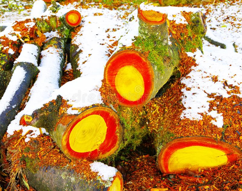 Felled and sawn tree with red and yellow wood core. Tree pieces with yellow and orange-colored Wood, Sawn pieces of wood with snow, fresh sawn pieces of wood in royalty free stock images