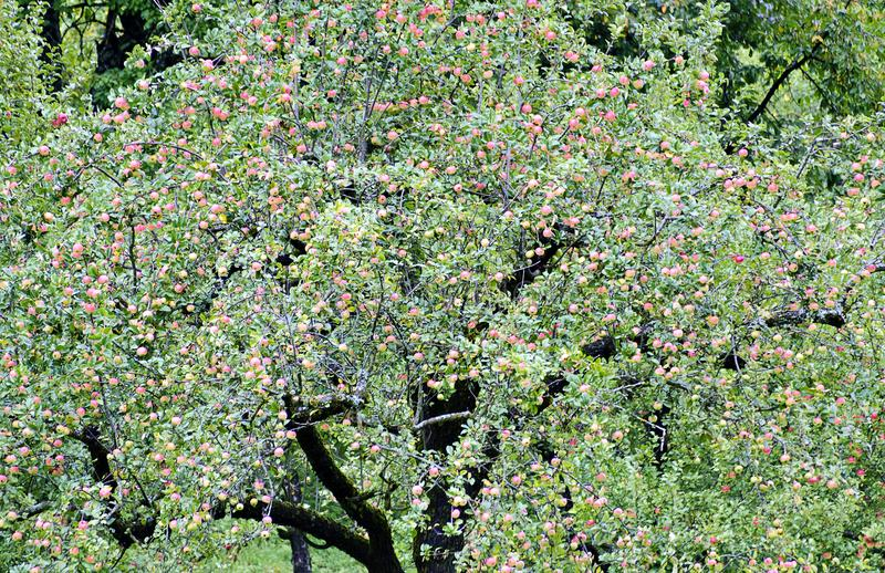 Tree with pink apples stock photos
