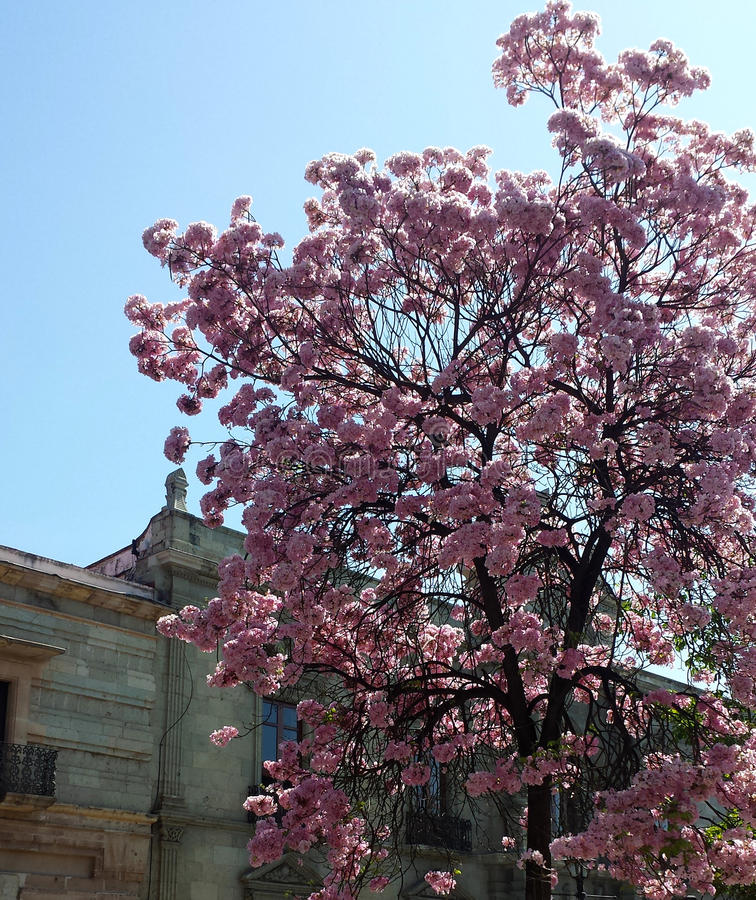 Tree with pink flowers. In Oaxaca city royalty free stock image