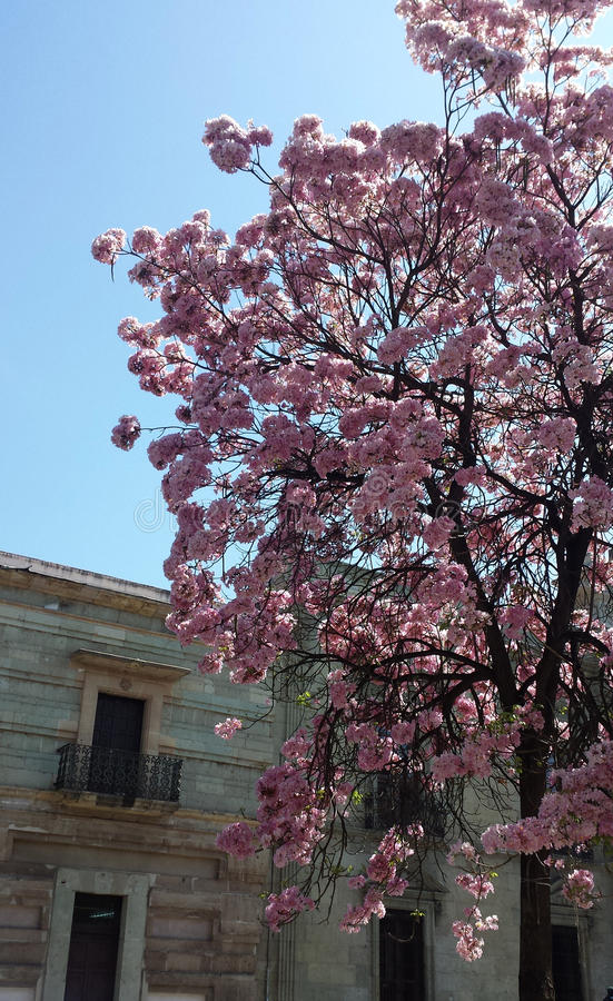 Tree with pink flowers. In Oaxaca city stock image