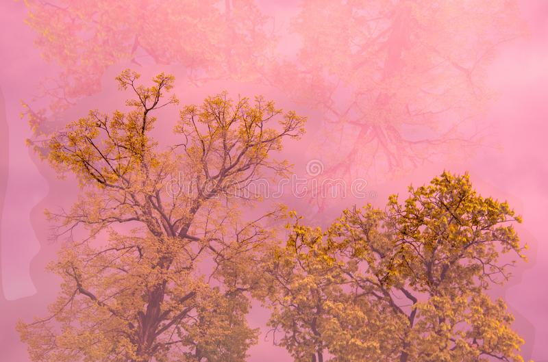 Tree in pink mist. Yellow flowering tree in pink mist stock images