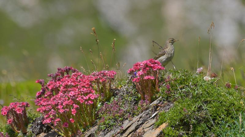 Tree pipit among the alpine flowers in the high mountains. In summer royalty free stock photos
