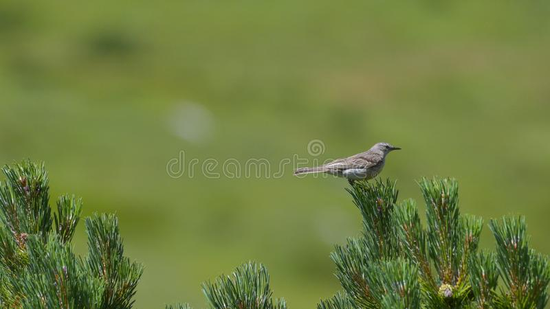 Tree pipit among the alpine flowers in the high mountains. In summer stock images