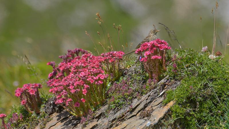 Tree pipit among the alpine flowers in the high mountains. In summer royalty free stock photo