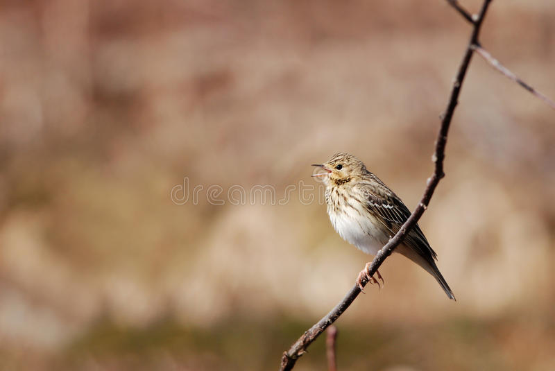 Tree Pipit. Singing on a branch in spring royalty free stock photography