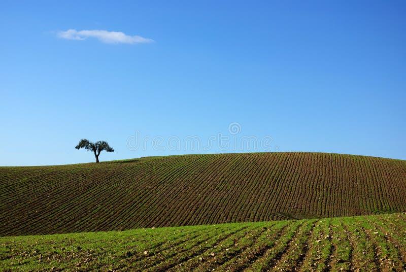 Tree in plain of Alentejo. Tree in plain of Alentejo region, Portugal royalty free stock photography