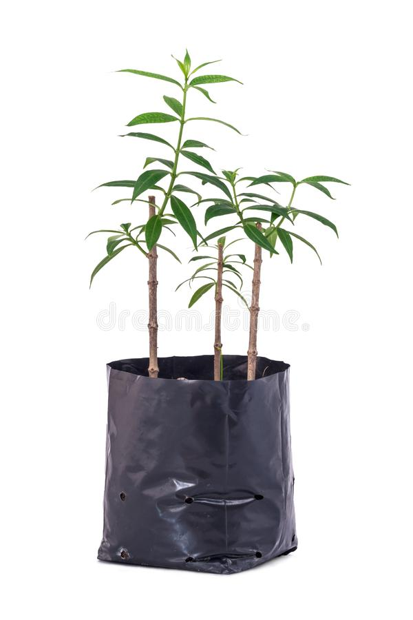Tree planting isolated. Young tree for planting with isolated on white background. The file includes a clipping path, so it& x27;s easy to work stock images