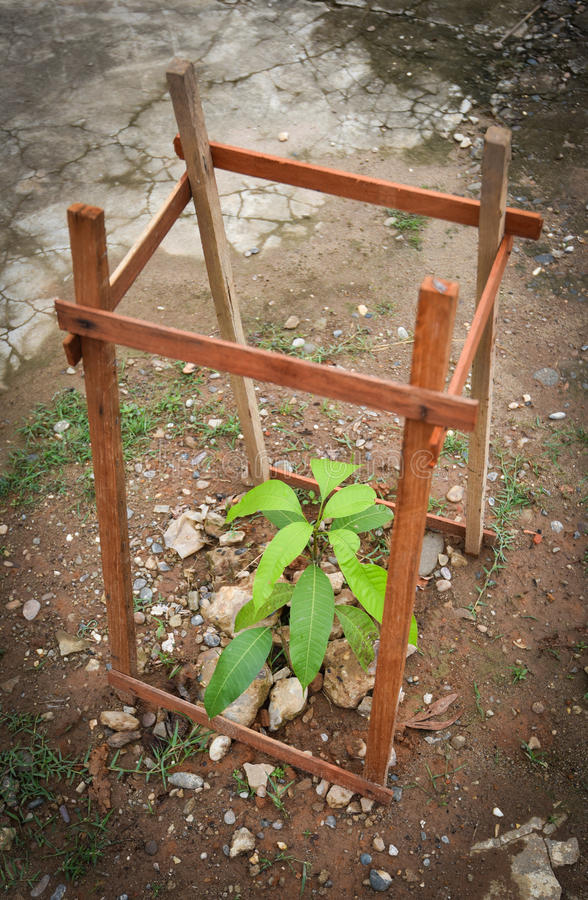 Tree planting of Mango. With wood cover royalty free stock images
