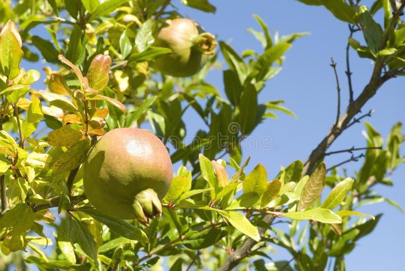 Tree of pomegranates royalty free stock images