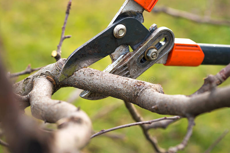 Tree pruning. Gardener pruning fruit trees with pruning shears royalty free stock image