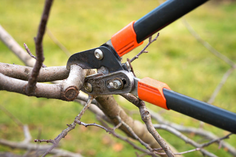 Tree pruning. Gardener pruning fruit trees with pruning shears stock image