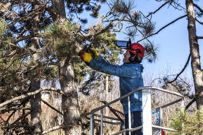 Tree pruning by a man with a chainsaw, standing on a mechanical platform, on high altitude between the branches of austrian pines. stock photo
