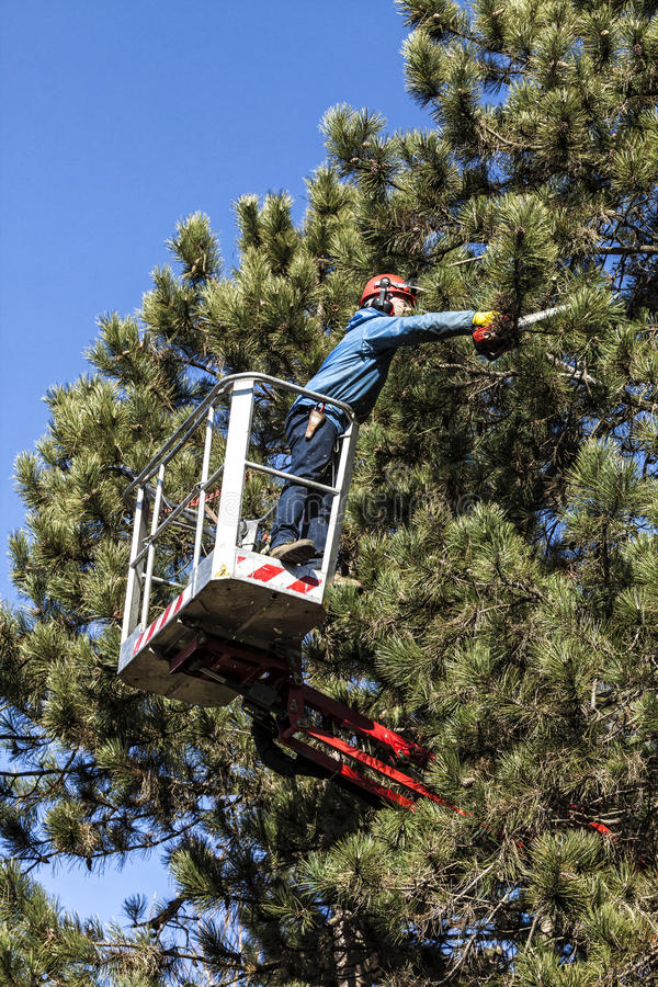 Tree pruning by a man with a chainsaw, standing on a mechanical platform, on high altitude between the branches of austrian pines. stock image