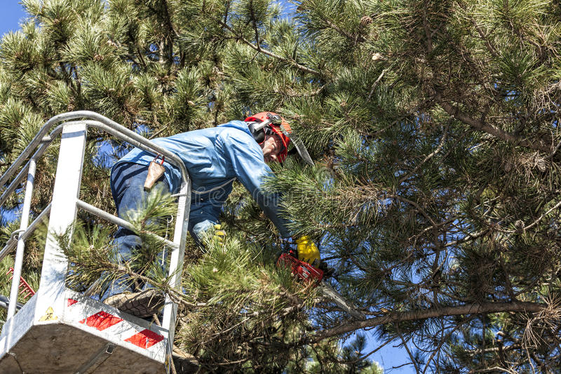 Tree pruning by a man with a chainsaw, standing on a mechanical platform, on high altitude between the branches of austrian pines. royalty free stock photos