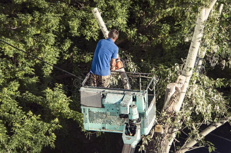 Tree pruning and sawing by a man with a chainsaw, standing on a platform of a mechanical chair lift, on high altitude between the. Branches of old, big oak tree stock image