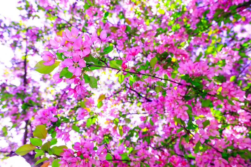 Tree of purple cherry blossom during spring season. Branch of apple blossoms in stunning sunny day. Beautiful pink flowers as stock photo