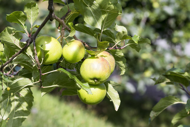 Tree with quality Braeburn apples stock photos