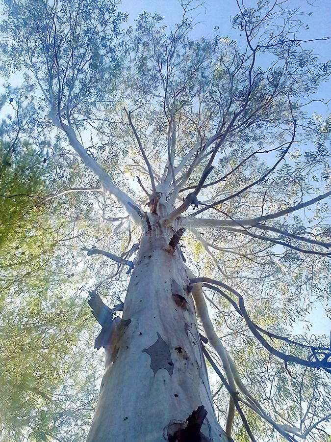 Tree reaching up to the sky. Tree reaching sky royalty free stock photography