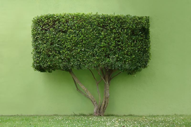 Tree with a rectangular crown stock photos