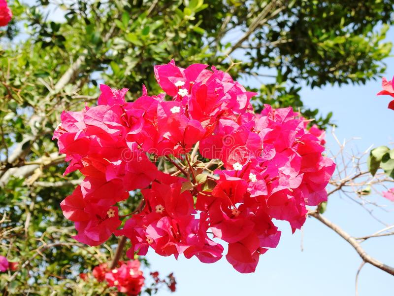 Tree Red Flower. South Spain, Andalucia royalty free stock photos